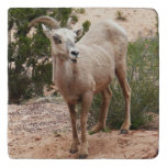 Funny Bighorn Sheep at Zion National Park Trivet
