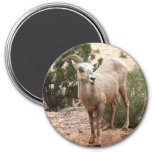 Funny Bighorn Sheep Magnet