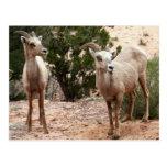 Funny Bighorn Sheep Nature Animal Photography Postcard