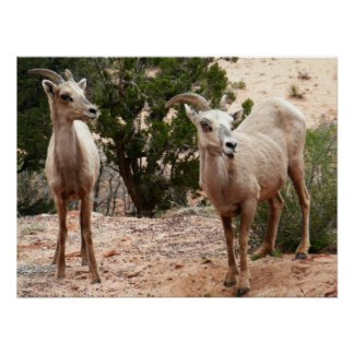 Funny Bighorn Sheep Nature Animal Photography Poster