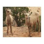 Funny Bighorn Sheep Nature Animal Photography Wood Wall Art