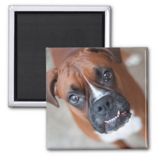 Funny boxer dog 2 inch square magnet