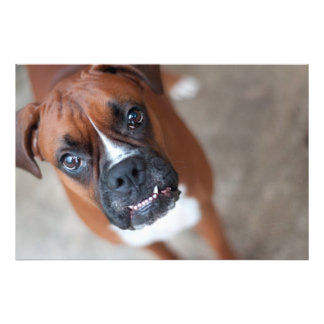 Funny boxer dog photo print