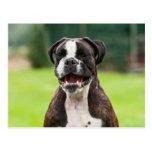 funny boxer Dog portrait Post Cards