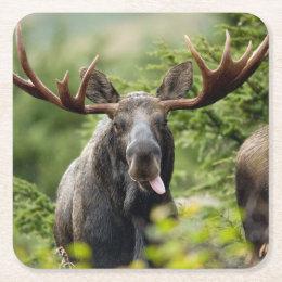 Funny Bull Moose Square Paper Coaster
