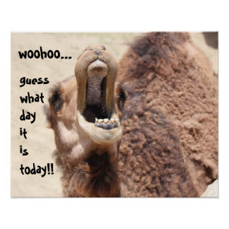 "Funny Camel ""hump day""  Guess what day it is! Poster"