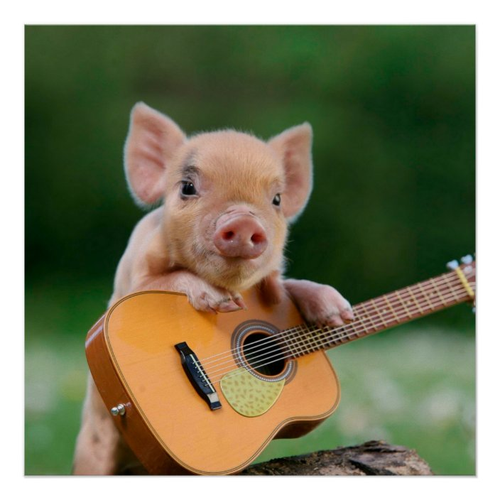 Funny Cute Pig Playing Guitar Poster   Zazzle.com
