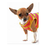 Funny Dog making faces Chihuahua Postcard