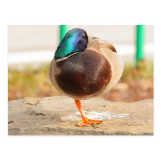 funny duck postcard