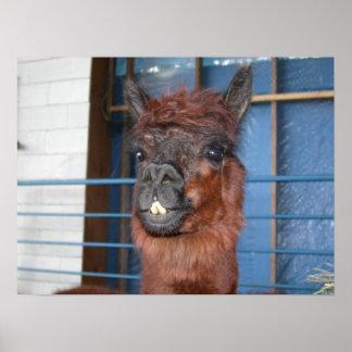 Funny Face Llama Posters