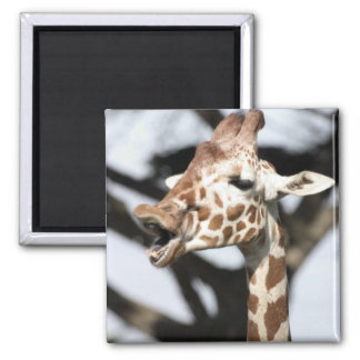Funny faced reticulated giraffe, San Francisco 2 Inch Square Magnet