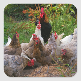 Funny Farmyard Chickens & Rooster Glossy Stickers