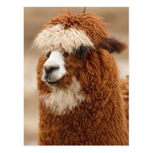 Funny Fuzzy Llama Post Card