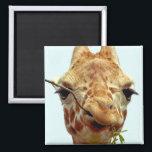 "funny giraffe baby magnet<br><div class=""desc"">giraffe chewing on saplings</div>"