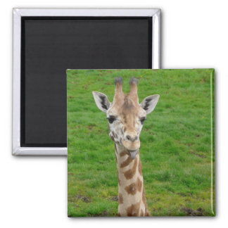 Funny Giraffe Sticking Out Tongue! 2 Inch Square Magnet