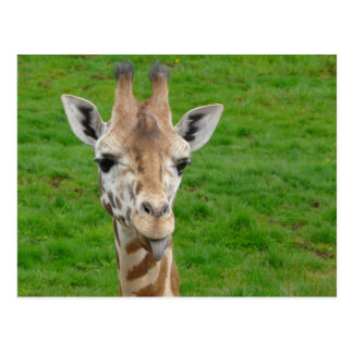 Funny Giraffe Sticking Out Tongue! Postcard