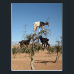"Funny goats in a tree postcard<br><div class=""desc"">Funny goats climbing an Argan tree in Morrocco</div>"