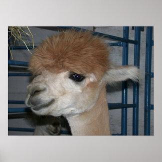 Funny Hairdo on Llama Poster