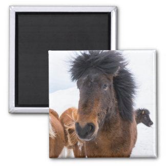 Funny Icelandic Horse Portrait Magnet