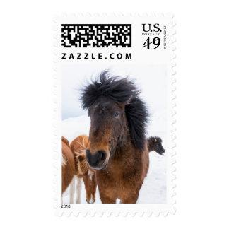 Funny Icelandic Horse Portrait Postage