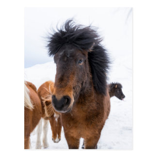 Funny Icelandic Horse Portrait Postcard
