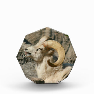 Funny Laughing Bighorn Sheep Acrylic Award