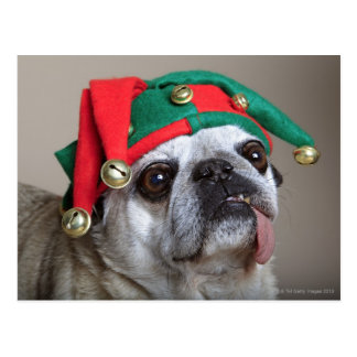 Funny looking pug with tongue hanging out post card