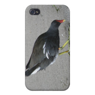 Funny Moorhen Take a Bow  iPhone 4 Cover