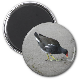 Funny Moorhen Take a Bow Magnet