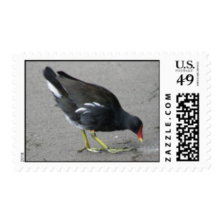 Funny Moorhen Take a Bow Postage Stamp