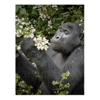 funny mountain gorilla eating flowers post cards