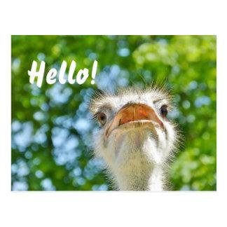 Funny Ostrich - Hello Postcard