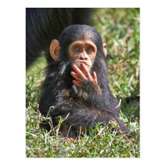 funny picture of young chimpanzee postcard
