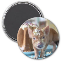 Funny pig and  the cake magnet