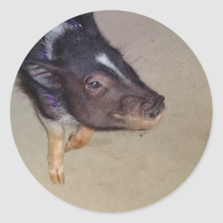 Funny Pot Bellied Pig Photography Classic Round Sticker