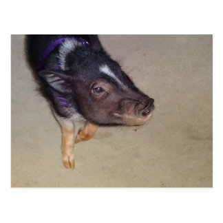 Funny Pot Bellied Pig Photography Postcard