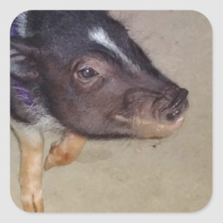 Funny Pot Bellied Pig Photography Square Sticker