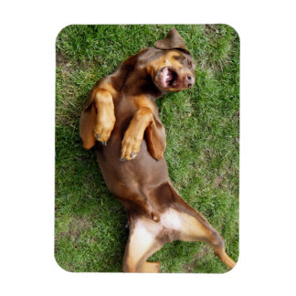 Funny red doberman relaxing rectangular photo magnet