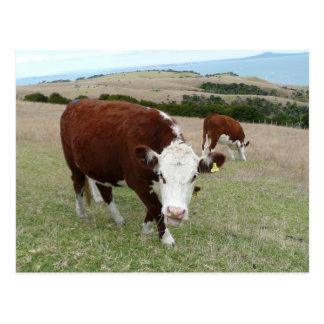 Funny Talking Cow Postcard