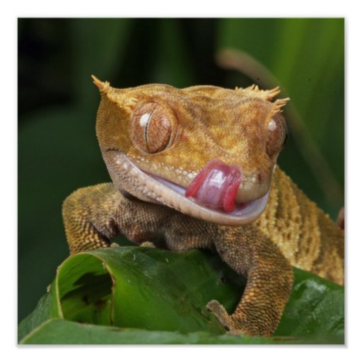 Funny Wild Animal Geko Licking Lips With Tongue Poster