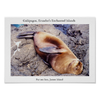 Fur sea lion, time for a nap poster