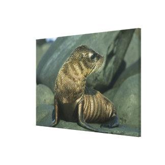 Fur Seal, Arctocephalus galapagoensis), young Canvas Print
