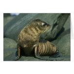 Fur Seal, Arctocephalus galapagoensis), young Card