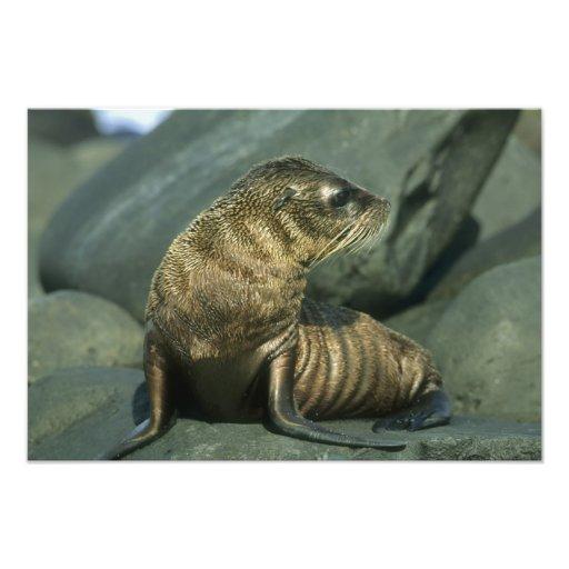 Fur Seal, Arctocephalus galapagoensis), young Photograph