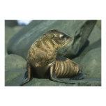 Fur Seal, Arctocephalus galapagoensis), young Art Photo