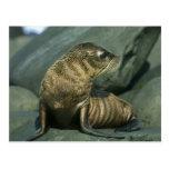 Fur Seal, Arctocephalus galapagoensis), young Post Card
