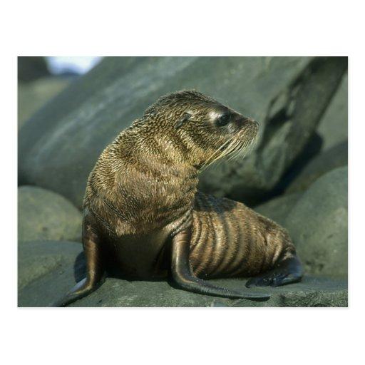 Fur Seal, Arctocephalus galapagoensis), young Postcard