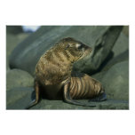 Fur Seal, Arctocephalus galapagoensis), young Print