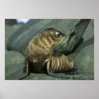 Fur Seal, Arctocephalus galapagoensis), young Poster