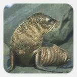 Fur Seal, Arctocephalus galapagoensis), young Square Sticker